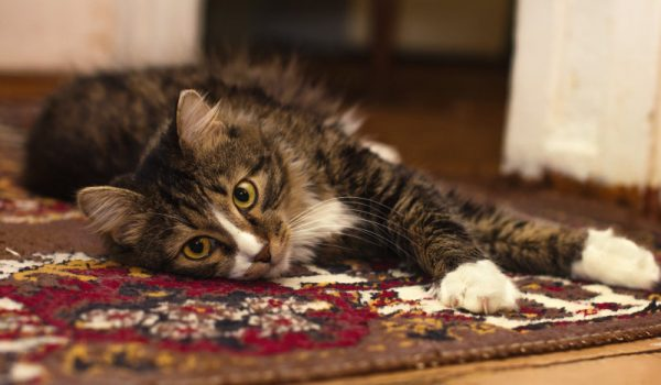 Carpet Cleaning Cat on Rug